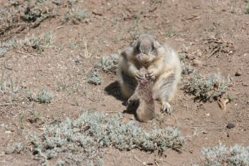 Prairie Dog 2