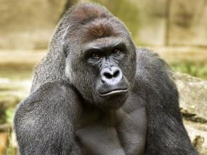Apes 7